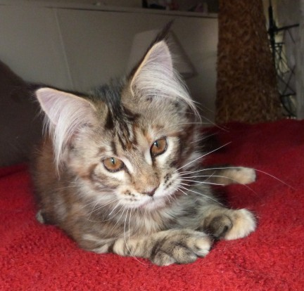 """Chatterie Coon Toujours, White Rock's Rosalie dite """"Zazou"""", chaton femelle maine coon, 4 mois, brown torbie"""