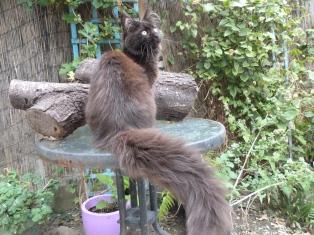 Chatterie Coon Toujours, Patchouli de la Petite Amazone, chaton maine coon femelle, noire, 5 mois
