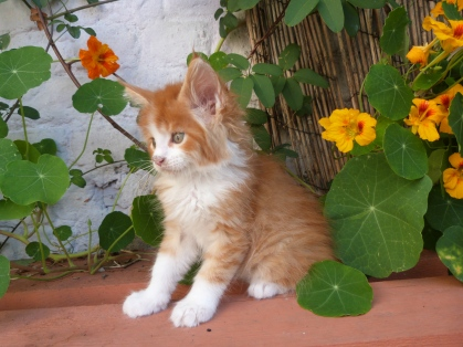 Pharaon de Coon Toujours, chaton mâle maine coon, 7 semaines, red mackerel tabby et blanc
