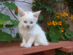 Pandor'a de Coon Toujours, femelle maine coon blanche aux yeux bleus, 7 semaines