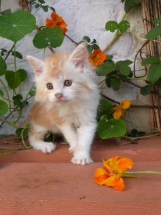 Perceval de Coon Toujours, chaton mâle maine coon, 7 semaines, red silver blotched tabby et blanc