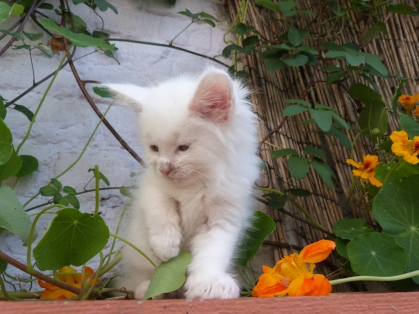 Juliette (Pétra) de Coon Toujours, chaton femelle maine coon, 7 semaines, blanche