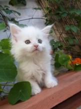 Prunelle de Coon Toujours, chaton femelle maine coon, 7 semaines, blanche