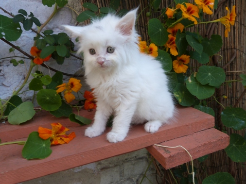 Prunelle de Coon Toujours, chaton femelle maine coon, 7 semaines, blanche