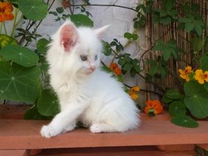 Pandora de Coon Toujours, femelle maine coon blanche, yeux vairons, 7 semaines