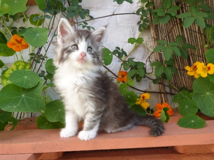 Patton de Coon Toujours, chaton mâle maine coon, black silver mackerel tabby et blanc, 7 semaines
