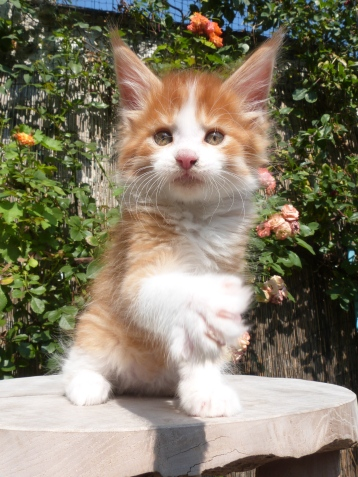Pharaon de Coon Toujours, chaton maine coon mâle, 8 semaines, red mackerel tabby et blanc