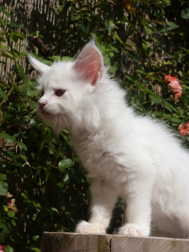 Pétra (Juliette) de Coon Toujours, chaton femelle maine coon, blanche, 8 semaines