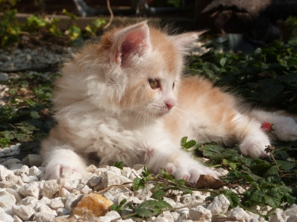 Perceval de Coon Toujours, chaton mâle maine coon, 8 semaines, red silver blotched tabby et blanc