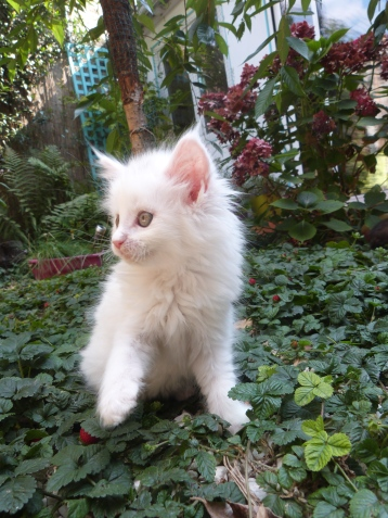 Prunelle de Coon Toujours, chaton maine coon femelle, 8 semaines, blanche