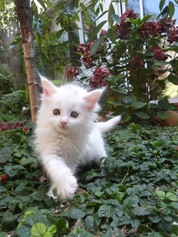 Prunelle de Coon Toujours, chaton maine coon femelle, 8 semaines, blanche