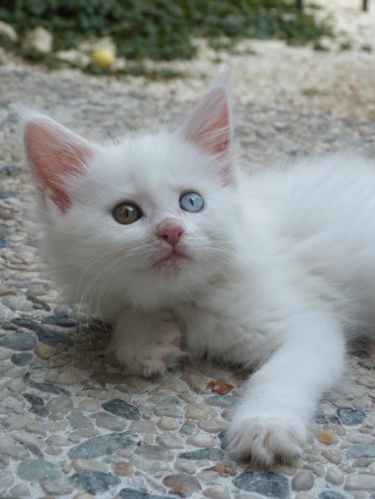 Pénélope de Coon Toujours, chaton maine coon femelle, blanche yeux vairons, 8 semaines