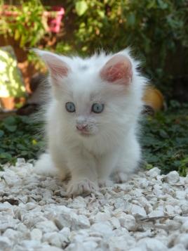 Pandora de Coon Toujours, chaton femelle maine coon, 8 semaines, blanche yeux bleus