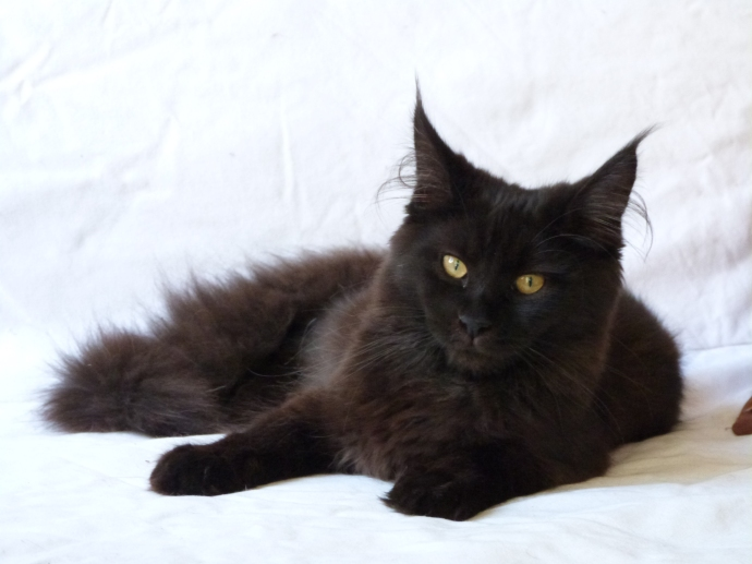 Chatterie Coon Toujours, Patchouli, femelle maine coon, noire
