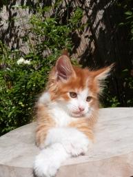 Pharaon de Coon Toujours, chaton maine coon mâle, 2 mois, red mackerel tabby et blanc