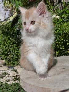 Perceval de Coon Toujours, chaton maine coon mâle, 2 mois, red silver blotched tabby et blanc