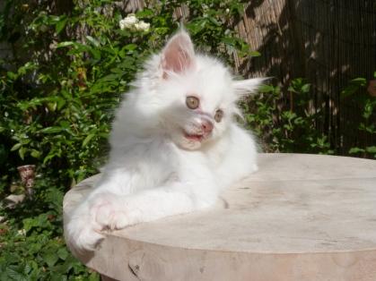Prunelle de Coon Toujours, chaton maine coon femelle, 2 mois, blanche