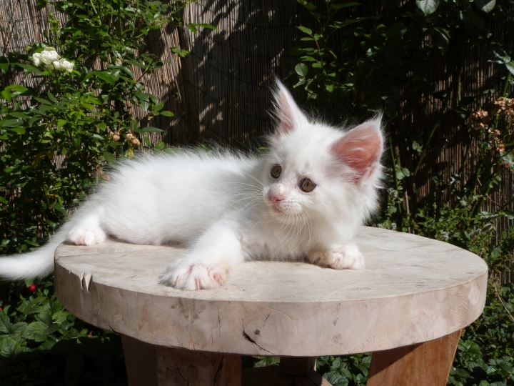 Pétra de Coon Toujours dite Juliette, chaton femelle maine coon, 2 mois, blanche