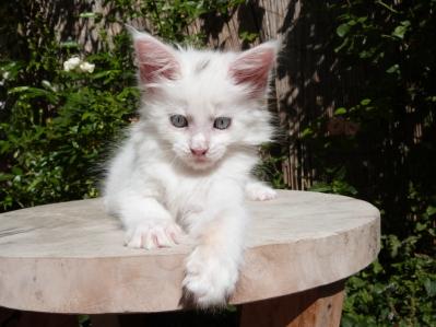 Pandora de Coon TOujours, chaton femelle maine coon, 2 mois, blanche yeux bleus