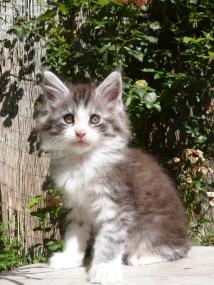 Patton de Coon Toujours, chaton maine coon mâle, 2 mois, black silver mackerel tabby et blanc