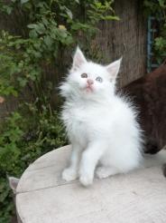 Pénélope de Coon Toujours, chaton maine coon femelle, 2 mois, blanche yeux vairons