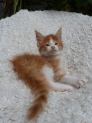 Pharaon de Coon Toujours, chaton mâle maine coon, red mackerel tabby et blanc