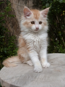 Perceval de Coon Toujours, chaton mâle maine coon, red silver blotched tabby et blanc
