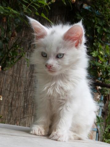 Pandora de Coon Toujours, chaton femelle maine coon, blanche yeux bleus