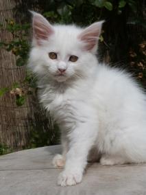 Pétra de Coon Toujours, dite Juliette, chaton femelle maine coon blanche
