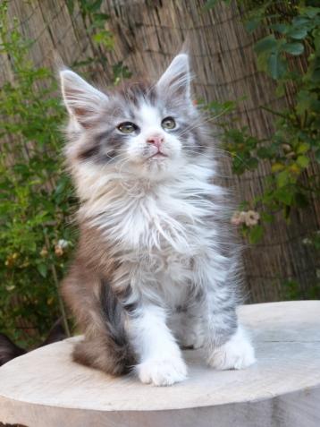 Patton de Coon Toujours, chaton mâle maine coon, black silver mackerel tabby et blanc