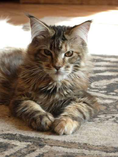 Chatterie Coon Toujours, Zazou, femelle maine coon brown tortie blotched tabby