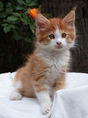 Pharaon de Coon Toujours, chaton male maine coon, red mackerel tabby et blanc