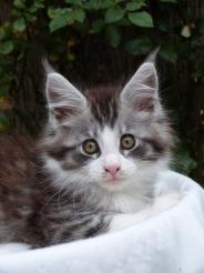 Patton de Con Toujours, chaton maine coon mâle, black silver mackerel tabby et blanc