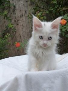 Pandora de Coon Toujours, chaton femelle maine coon,, blanche yeux bleus