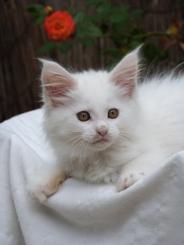 Pétra de Coon Toujours, dite Juliette, chaton femelle Maine Coon, blanche