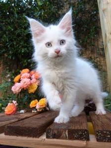 Pandora de Coon Toujours, chaton maine coon femelle, blanche, yeux bleus
