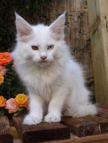 Pénélope de Coon Toujours, chaton maine coon femelle, blanche, yeux vairons