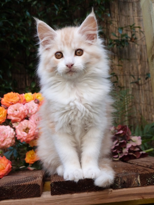 Perceval de Coon Toujours, Chaton maine coon mâle, red silver blotched tabby et blanc