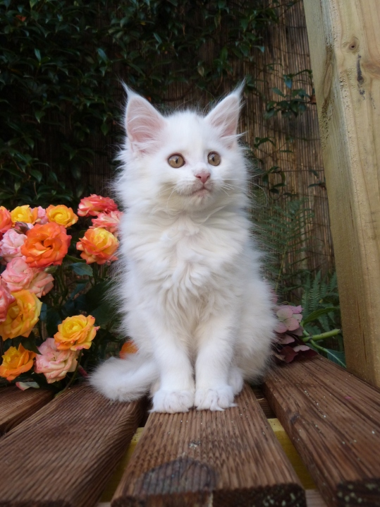 Prunelle de Coon Toujours, chaton femelle maine coon, blanche
