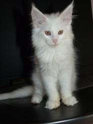 Pétra de Coon Toujours dite Juliette, chaton maine coon femelle, blanche