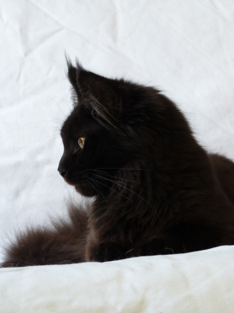 Chatterie Coon Toujours, Patchouli, femelle maine coon noire, yeux or