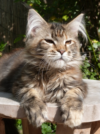 Chatterie Coon Toujours, Zazou, femelle maine coon, brown torbie