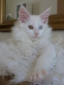 Pénélope de Coon Toujours, chaton femelle maine coon, blanche yeux vairons