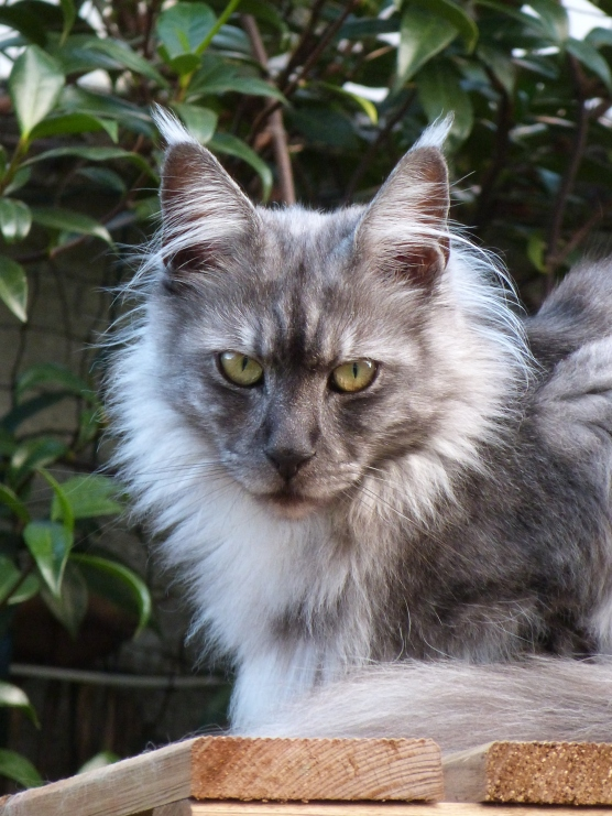 Chatterie Coon Toujours, Oui-Ja P, maine coon femelle, polydacile, black smoke