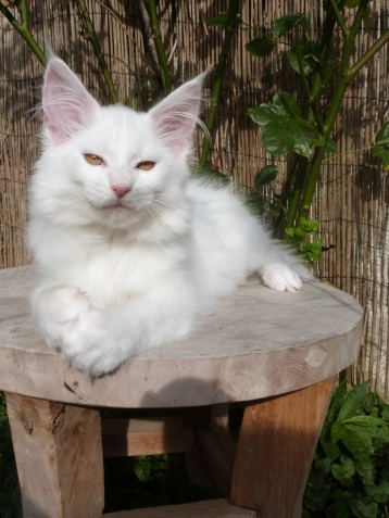 Chatterie Coon Toujours, Pétra de Coon Toujours, chaton maine coon blanc yeux or, femelle