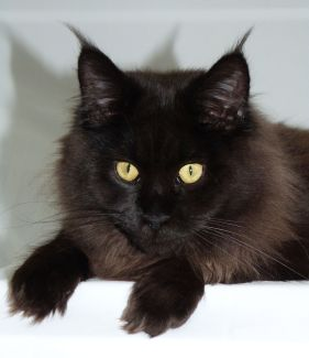 Chatterie Coon Toujours, Patchouli, femelle maine coon, black