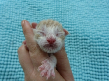 Chatterie Coon Toujours, Chaton maine coon mâle red silver mackerel tabby et blanc, naissance