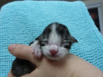 Chatterie Coon Toujours, chaton maine coon mâle, black silver mackerel tabby et blanc, naissance