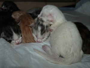 Chatterie Coon Toujours, chatons maine coon à la naissance
