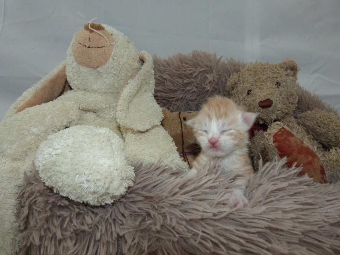 Chatterie Coon Toujours, Ralf de Coon Toujours,chaton maine coon mâle, une semaine, red silver mackerel tabby